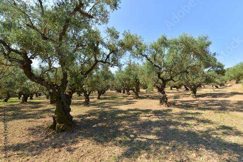 Poster Olijfboom Olive trees