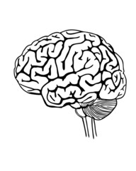 Vector outline illustration of human brain