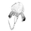 Detailed Hand Drawn iris flower - for  design.