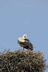 white stork Ciconia in nest