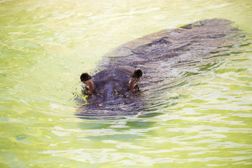 Hippopotamus floating in the water