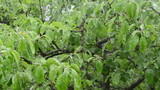 panorama of rain water drops fall on decidious tree twig leaves
