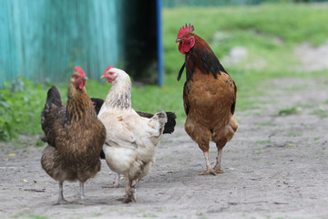Family of chickens in a farm