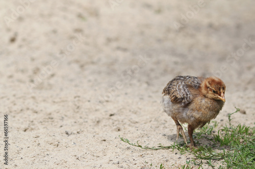 small chicken on the farm