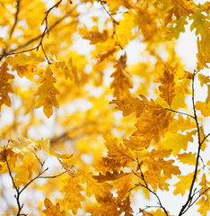 Yellow oak leaves in fall season