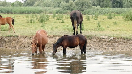 horses drinking water on river