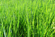 Background of grass