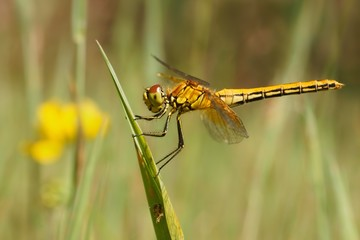 Dragonfly, Yellow-winged darter (Sympetrum flaveolum)