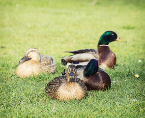 Small group of mallard ducks in the park
