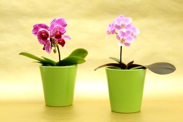 Mini Orchideen im Blumentopf