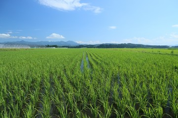 初夏の水田の風景