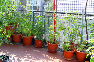 lush TOMATO plant on the terrace in a ECOLOGICAL urban garden