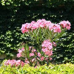 Beau Laurier rose