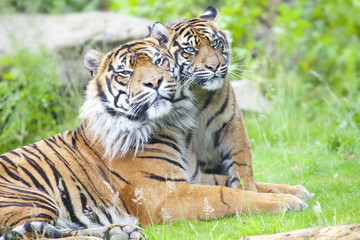 Two tigers together