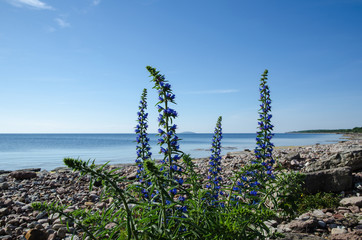Blue flowers at a calm bay by a stony coastline