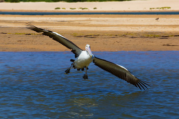 An Australian Pelican tries to land