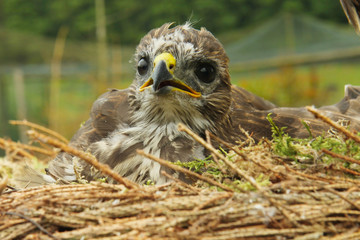 young kestrel in the nest