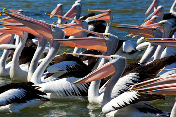 A tight crop showing 10+ Australian Pelicans