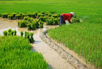 Vietnamese farmer working on rice  field