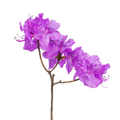 Purple rhododendron flowers on branch.