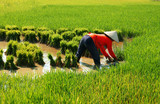 Vietnamese farmer work on rice  field