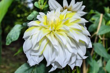 Dahlia hollyhill lemon ice white and yellow flower