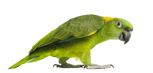 Side view of a Yellow-naped parrot walking (6 years old)