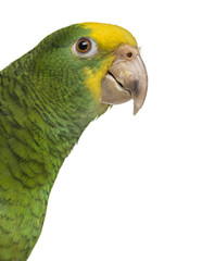 Close-up of a Yellow-headed Amazon (6 months old)