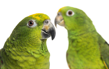 Close-up of a Panama Amazon and Yellow-crowned Amazon isolated o