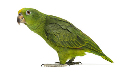 Panama Yellow-headed Amazon (5 months old) isolated on white