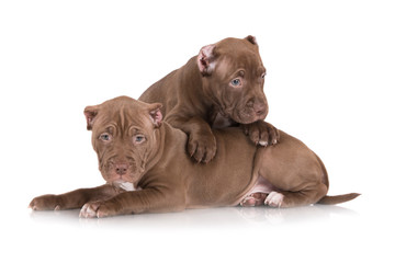 two chocolate pit bull puppies with cut ears