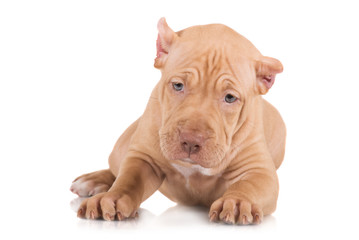 adorable fawn pit bull puppy portrait