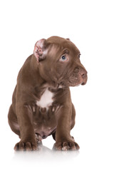adorable chocolate pit bull puppy looks guilty
