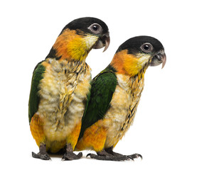 Two Young Black-capped Parrots (10 weeks old) isolated on white