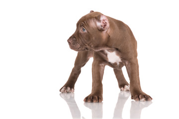 chocolate american pit bull puppy
