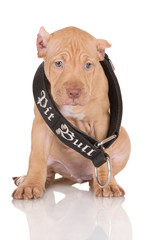 pit bull puppy in a large collar