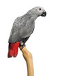 canvas print picture - African Grey Parrot (3 months old) perched on a branch