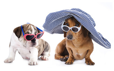Portrait of Dachshund and english bulldog puppy in sunglasses