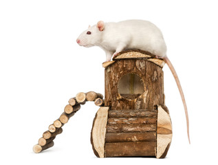 Rat (8 months old) standing on a mouse house, isolated on white
