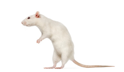 white Rat on hind legs (8 months old)