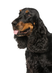 Close-up of a English Cocker Spaniel (4 years old)