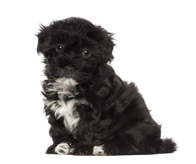 Havanese puppy (8 weeks old)