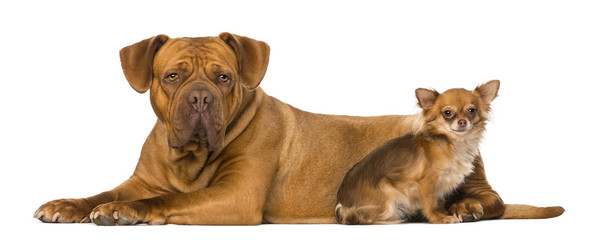 Dogue de Bordeaux and a chihuahua