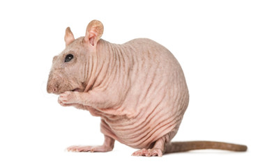 Hairless rat cleaning itself