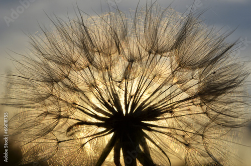 dandelion at sunset - 66618755