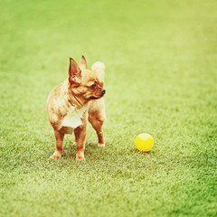 Red chihuahua dog on green grass.