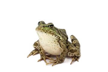 sylvestris green frog on a white background