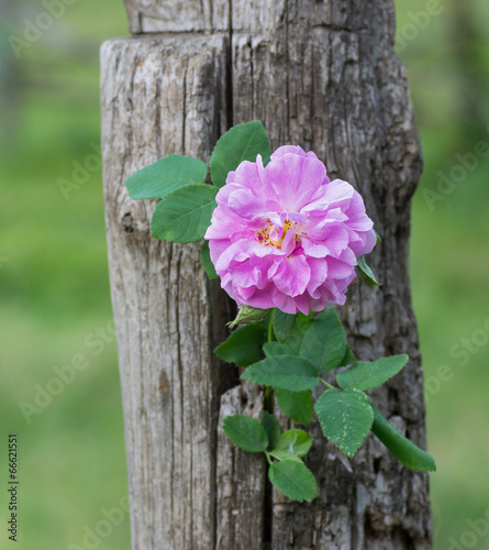 Branch of dog-rose twined round dry trunk