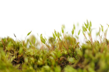 Tortula Muralis Moss Macro on White Background with Copy Space