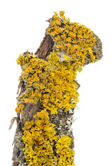 Xanthoria Parietina (Golden Shield Lichen) Close-Up on Tree Bark